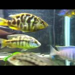 Different types of Cichlid fish one should know about